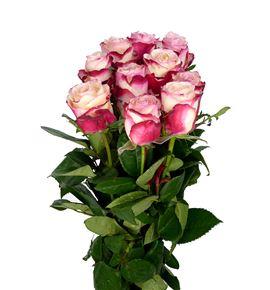 Rosa hol. sweetness 50 - RGRSWE