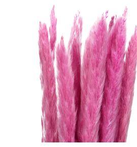 Cortaderia rosa 65 - CORROS65