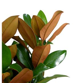 Magnolia holanda - MAG
