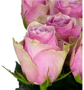 Rosa hol athena royale 60 - RGRATHROY