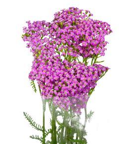 Achilea lila beauty 55 - ACHLILBEA