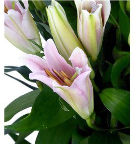 Lilium oriental hol labrador 85 - LOHLAB