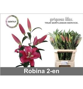 Lilium oriental hol robina 65 - LOHROB