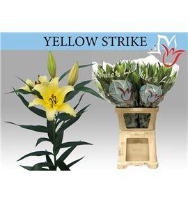 Lili oriental hol yellow strike 105 - LOHYELSTR