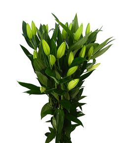 Lilium oriental hol zambessi 75 - LOHZAM
