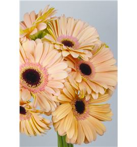 Gerbera alliance - GERALL