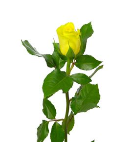 Rosa amarilla 40 - RAMA
