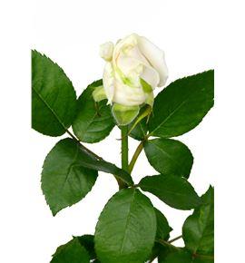 Rosa vendela 40 - RVEN