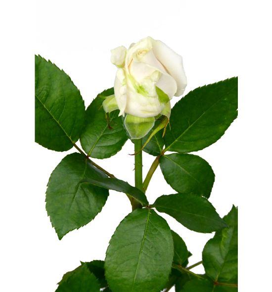 Rosa vendela 50 - RVEN
