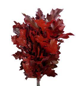 Quercus rojo - QUEROJ