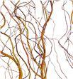 Salix golden curl 130 - SALGOLCUR2