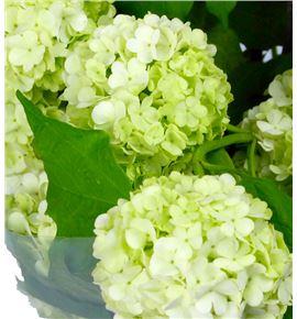 Viburnum roseum 40 - VIBROS