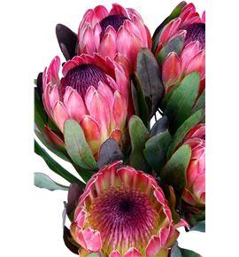 Protea silvia 60 - PROSIL
