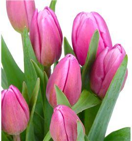 Tulipan jumbo pink 36 - TULJUMPIN