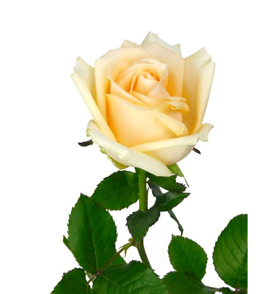 Rosa peach avalanche 50 - RPEA