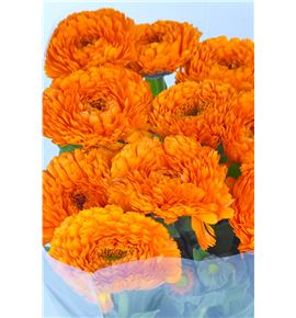 Calendula naranja - CALNAR