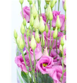 Lisianthus piccolo rose 75 - LISROSROS