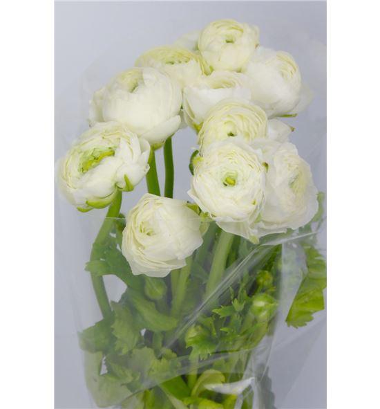 Ranunculo elegance white 40 - RANELEWHI