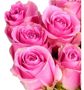 Rosa hol. pink avalanche 60 - RGRPINAVA