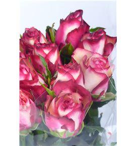 Rosa hol paloma 50 - RGRPAL