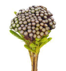 Brunia albiflora 60 - BRUALB