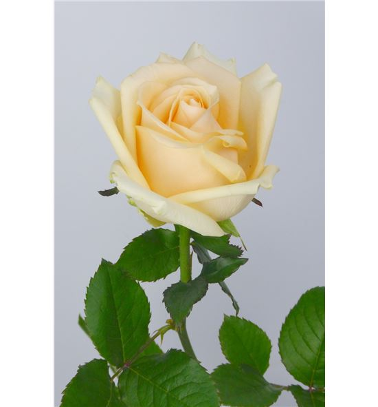 Rosa peach avalanche 60 - RPEA