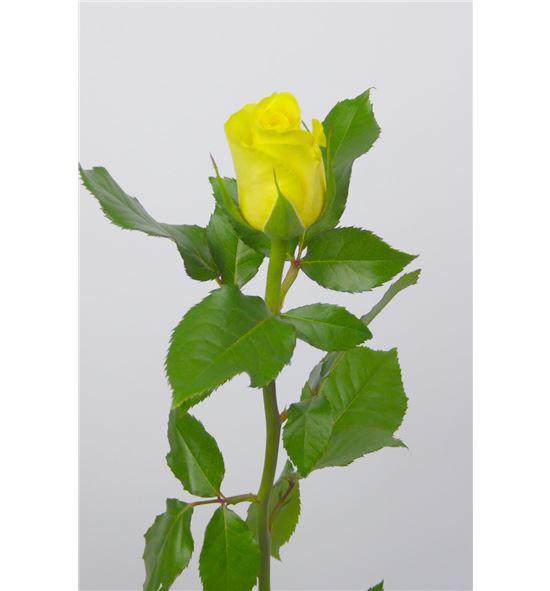 Rosa amarilla 70 - RAMA