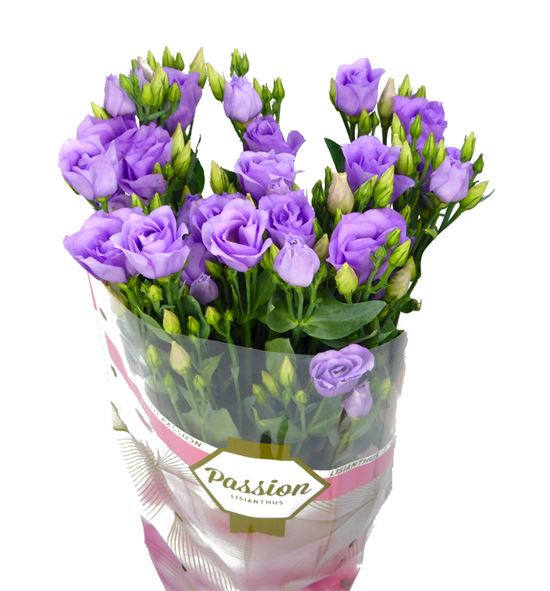 Lisianthus croma lavender 75 - LISCROLAV