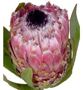 Protea barbigera 40 - PROBAR