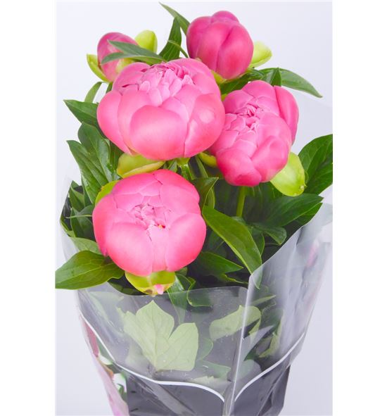 Paeonia coral charm x5 - PAECORCHA