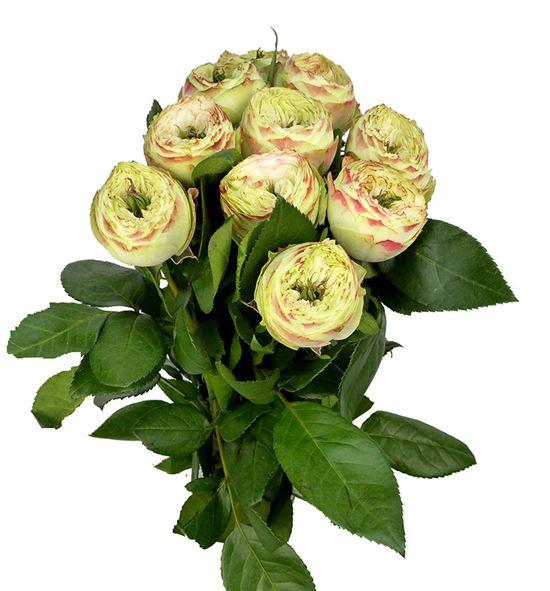 Rosa hol latin pompon 50 - RGRLATPOM