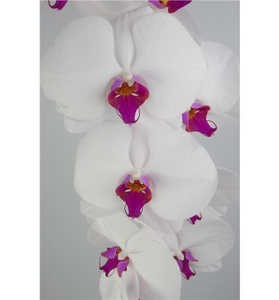 Phal red lips x25 - PHAREDLIP