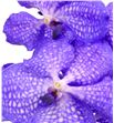Vanda blue magic x16 - VANBLUMAG1