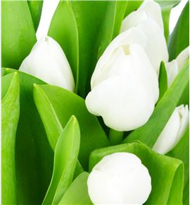 Tulipan royal virgin 37 - TULROYVIR
