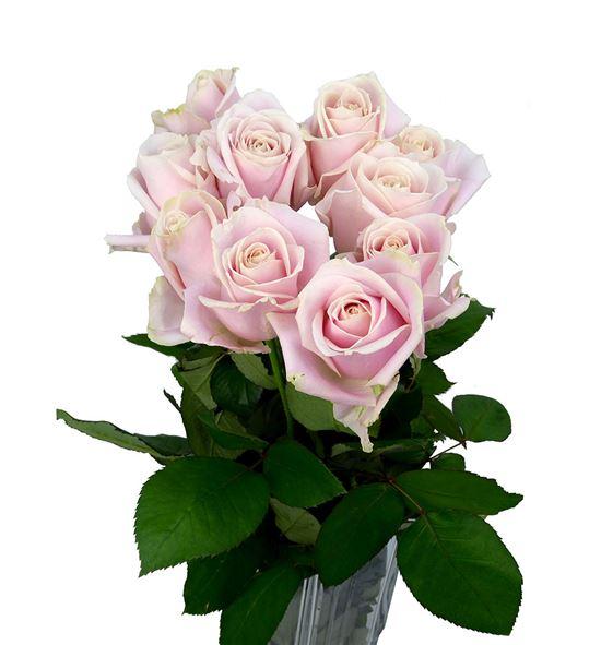 Rosa hol. sweet avalanche 50 - RGRSWEAVA