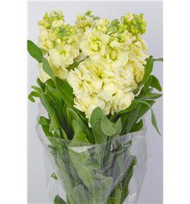 Matthiola matthilda yellow 55 - MATMATYEL