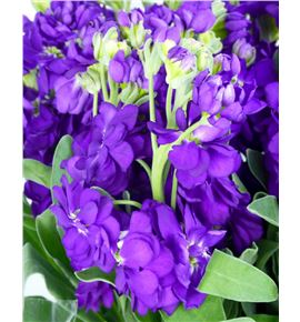 Matthiola anytime blue 52 - MATCENDEE