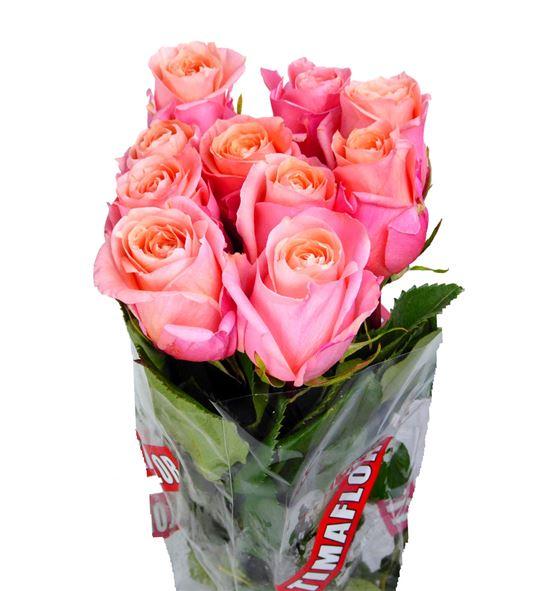 Rosa hol lady margaret 60 - RGRLADMAR