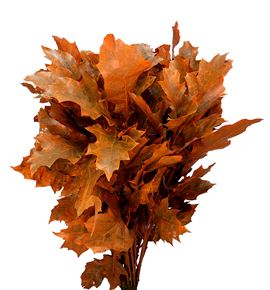 Quercus orange - QUEORA