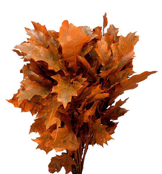 Quercus orange - QUEORA