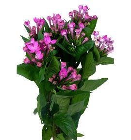 Bouvardia royal violet 40 - BOUROYVIO