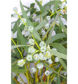 Eucaliptu fruto blanco - EUCFRUBLA