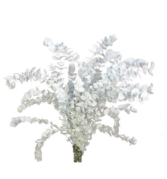 Eucaliptus cinerea blanco - EUTINBLANCO