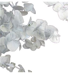 Eucaliptus cinerea blanco - EUCINBLA