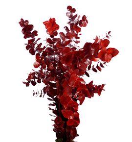 Eucaliptus cinerea rojo - EUCINROJ