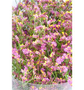 Limonium china red 60 - LIMCHIRED