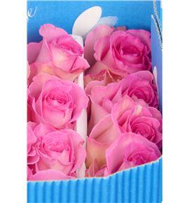 Rosa col sweet unique 60 - RCSWEUNI