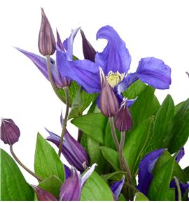 Clematis blue priouette 60 - CLEBLUPRI