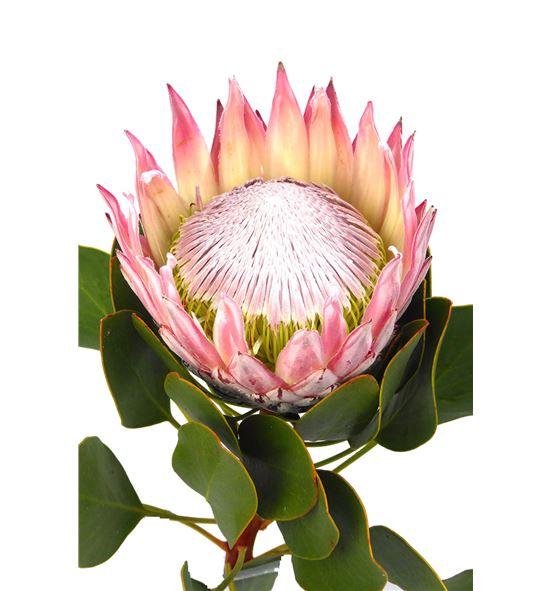 Protea cynaroides 50 - PROCYN (2)