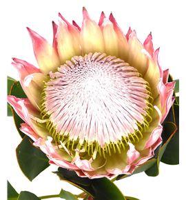Protea cynaroides 50 - PROCYN